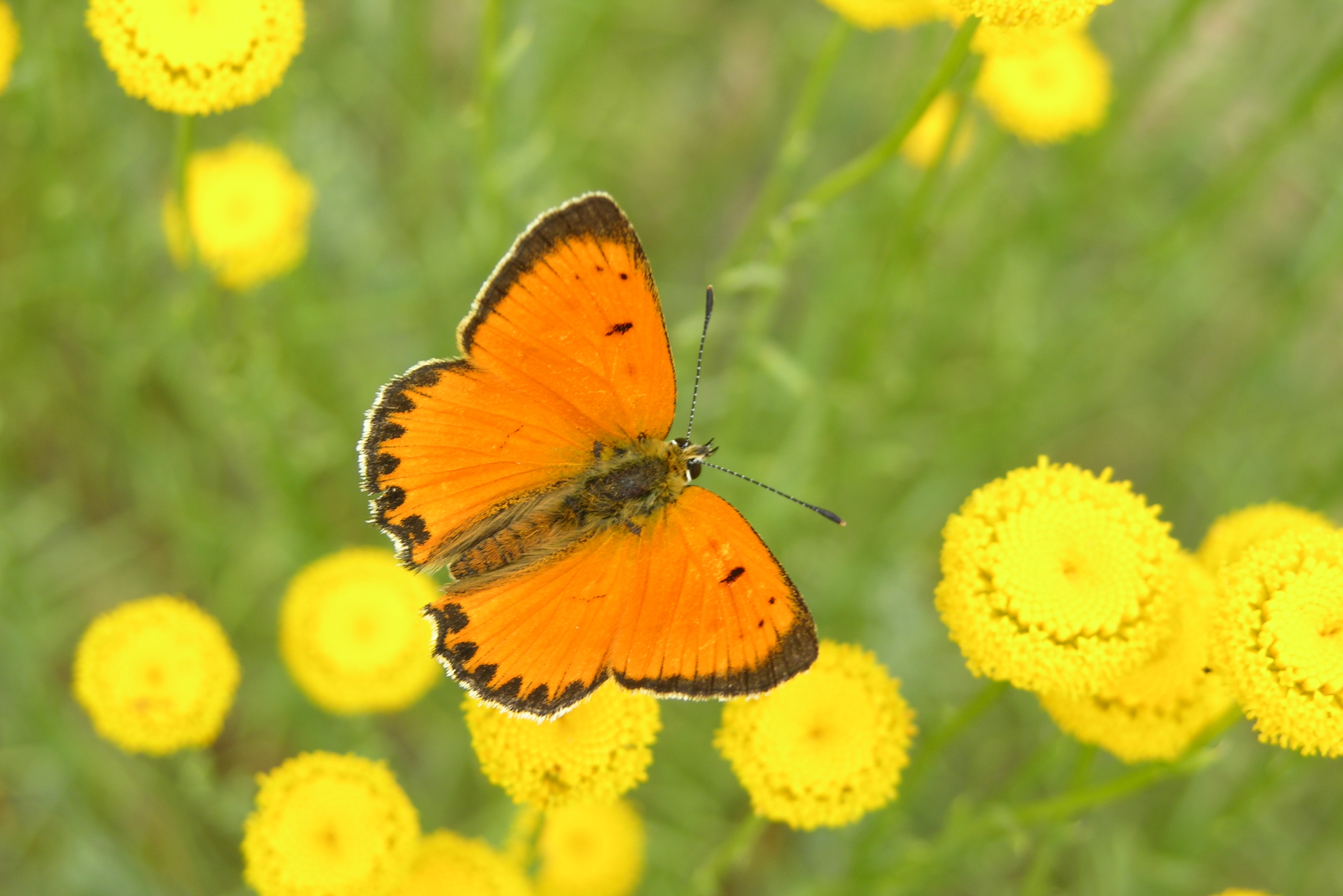 Las mariposas de la Sierra de Guadarrama se desplazan a zonas de alta montaña